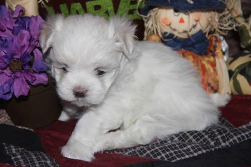 CKC registered Male Maltese Puppies . Ready to Go !!!