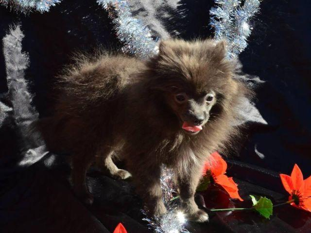 CKC Registered Pomeranian Male