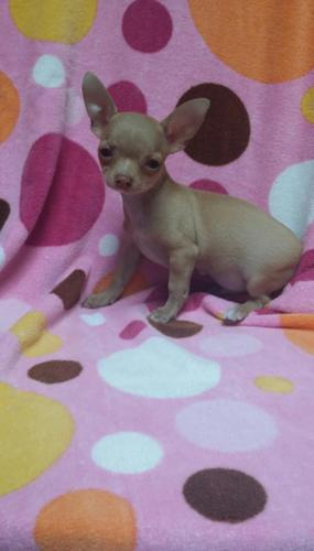 CKC registered (TEACUP) male chihuahua puppy