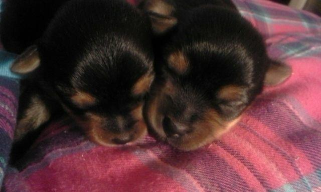 CKC REgistered Yorkie Puppies,less than 2 weeks Ready
