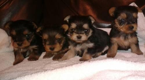 CKC Registered Yorkshire Terrier (Yorkie) Male Puppies -Price Reduced