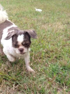 CKC shih tzu female