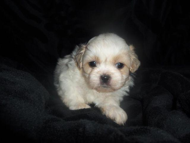 shih tzu breeders in virginia ckc shih tzu puppies for sale in lynchburg virginia 9167