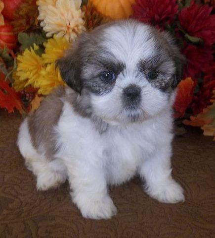 Ckc Shih Tzu Puppies For Sale In Melissa Texas Classified
