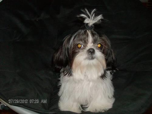 Ckc Shorkies Shih Tzu And Yorkie For Sale In Tallahassee Florida