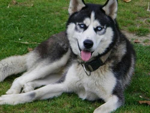 CKC Siberian Husky Pups for Sale in Bailey Creek, Kentucky