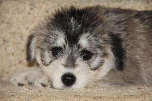 Ckc Siberpoo Puppies Ariel For Sale In Gainesville