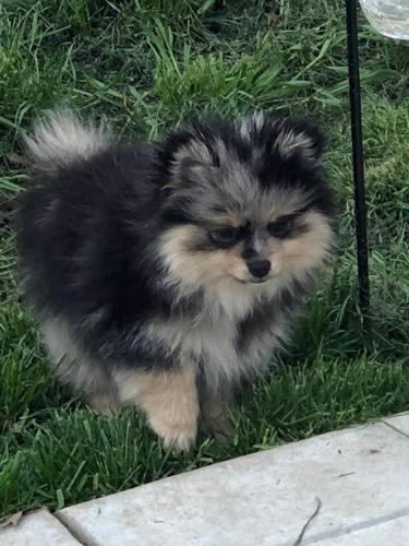 Ckc Silver And Black With Tan Marking Pomeranian Male Pup