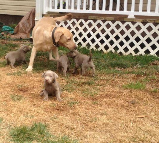 Silver Labs Hunting Ckc Silver Lab Puppies Hunting