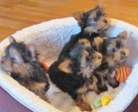 Ckc Teacup Yorkshire Terrier Puppies 9 Weeks Old For Sale