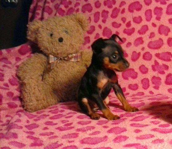 Rottweiler Puppies For Sale In Dallas Texas Classifieds Buy And