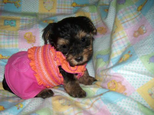 CKC TINY YORKIE PUPPIES