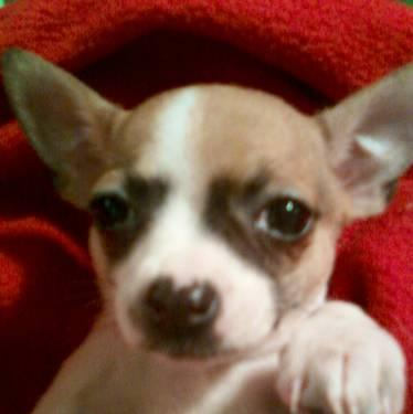 CKC Toy an Teacup chihuahua puppys (ready now)