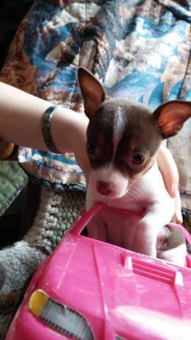 Ckc Toy Chihuahua