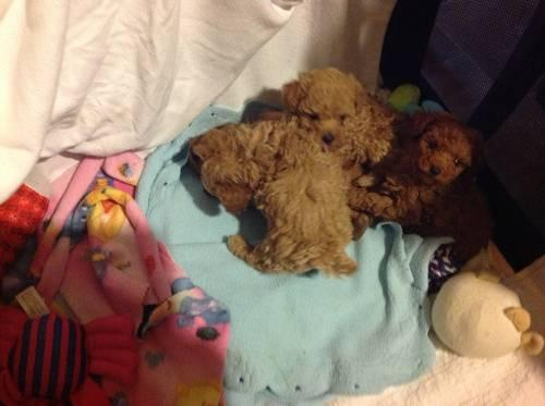 Teacup Poodles For Sale In Ohio Classifieds Buy And Sell