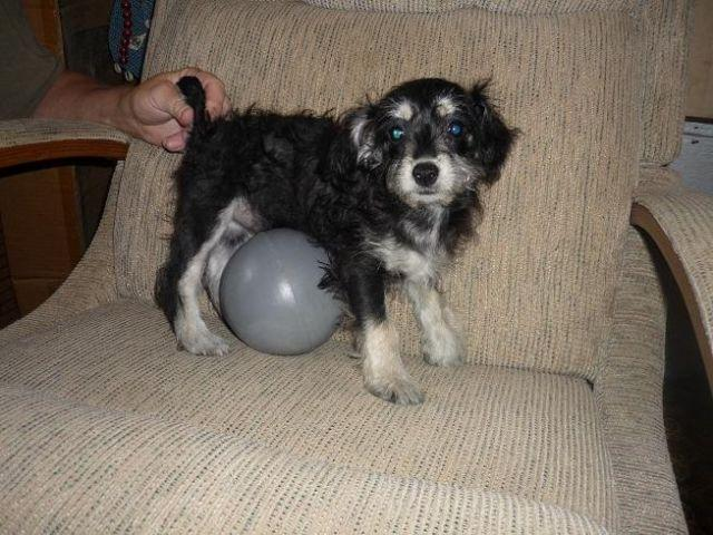 CKC TOY SHIH POO PUPPY- 7UP- born 3/28/14 for Sale in Calhoun
