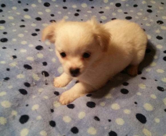CKC White Longhair Male Chihuahua