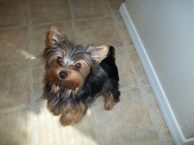Yorkie Female Puppy Pets And Animals For Sale In Washington Puppy