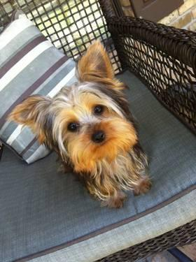 CKC Yorkie female REDUCED