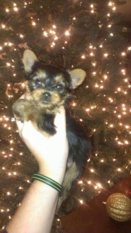 Ckc Yorkie Puppies For Sale In Bonney Lake Washington