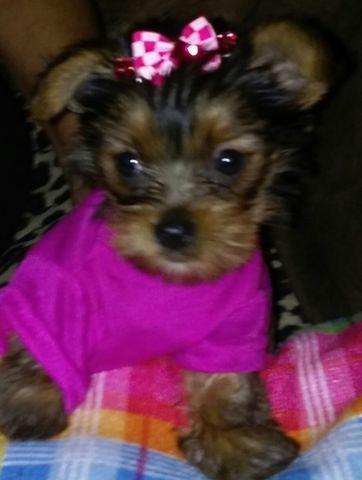 CKC Yorkie Puppy