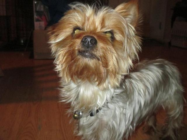 yorkie puppies for sale indianapolis ckc yorkshire terrier female 24 months for sale in 1151