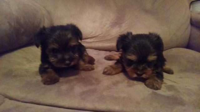 CKC Yorkshire terrier puppies