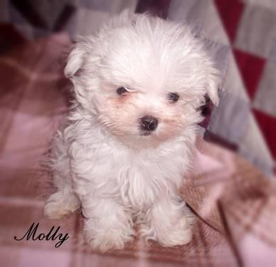 Morkie Puppies on Ckc Morkie Puppies For Sale In Great Bend  Pennsylvania Classified