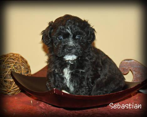 Shichon Puppies on Ckc Shichon Puppies For Sale In Abbeville  South Carolina Classified