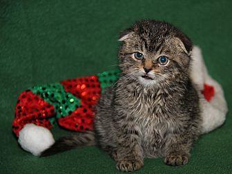 Claire (Adoption Pending) Scottish Fold Kitten Female for