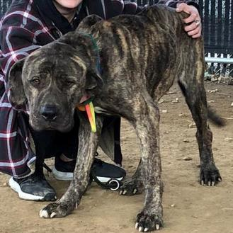 Clara Belle Mastiff Adult Female