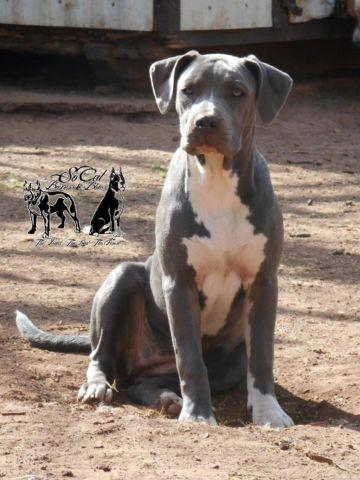 Classic Style XL American Bully- 4 FEMALES left!
