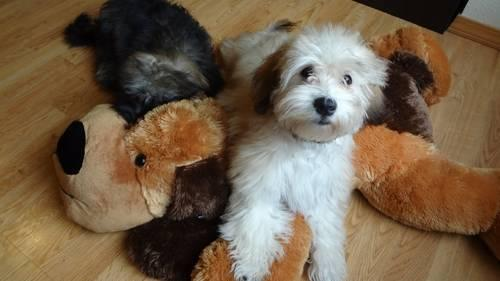Classified Ad Special Price Last Akc Havanese Red Sable