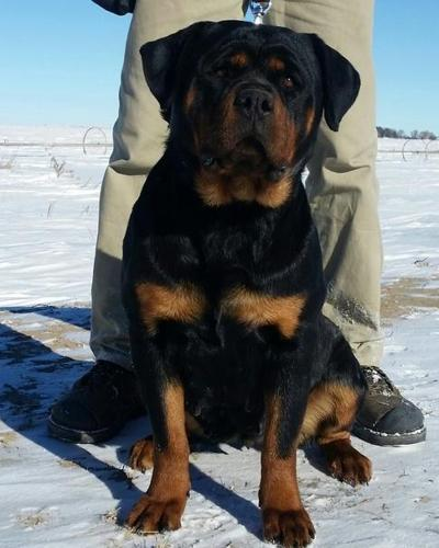 Clear Pure Breed Rottweiler Puppiestext Me At At 385 218 0937 For