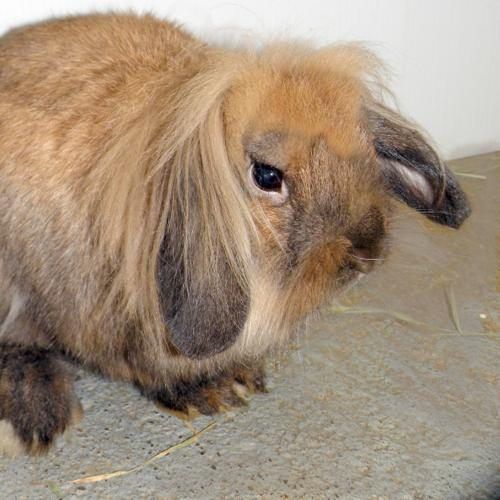 American Fuzzy Lop Baby