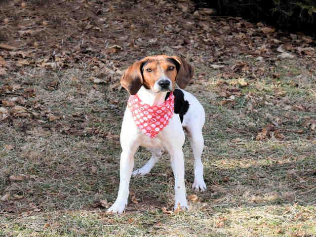 CLOE Treeing Walker Coonhound Adult - Adoption, Rescue for