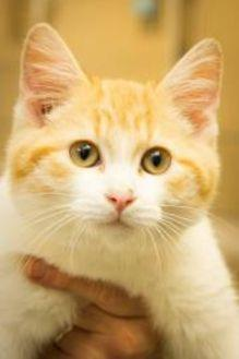 Clover Domestic Shorthair Young Male