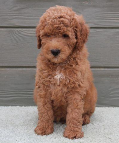 Labradoodle Pets And Animals For Sale In The Usa Puppy And