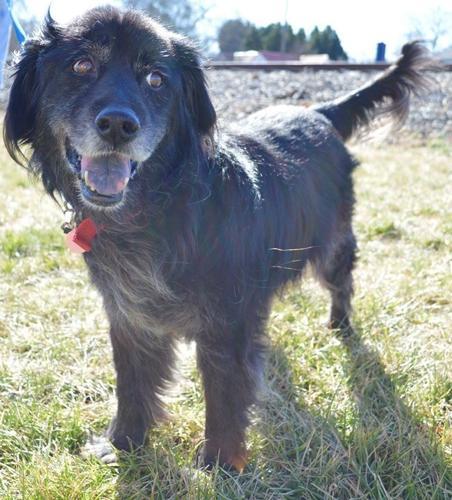 Clyde Flat-Coated Retriever Senior - Adoption, Rescue