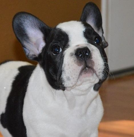 Cmnvvj Dhgfhf French Bulldog Puppies For Sale For Sale In Birmingham