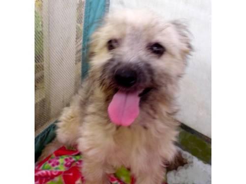 Cockapoo Female Puppy For Sale In Riverside, California Classified  Americanlistedcom-5416