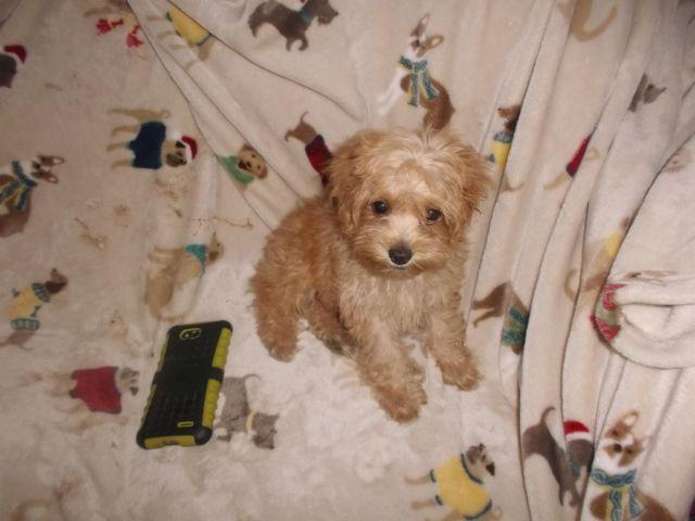 Cockapoo Puppies 425-600 For Sale In Howell, New Jersey Classified -4952