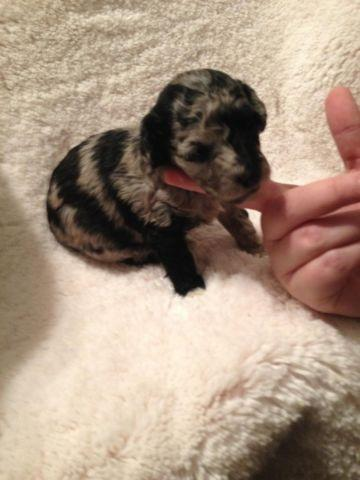 Toy Fox Terrier Pets And Animals For Sale In Toledo Ohio Puppy