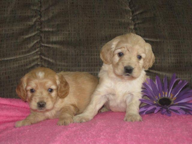 Cockapoo Puppies For Sale In London Ohio Classified