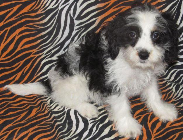 Cockapoo Puppies for Sale in Minnesota - Puppies and Dogs