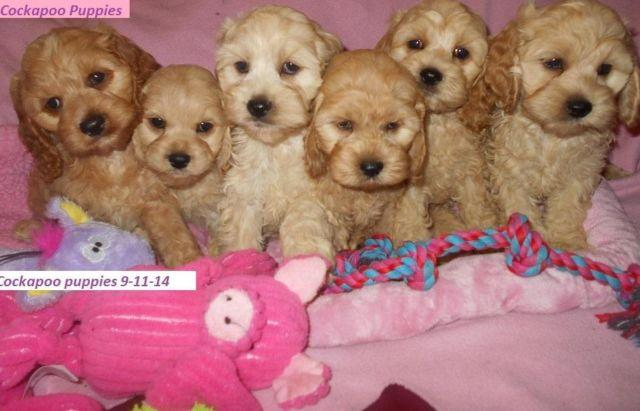 Cockapoo Puppies In Michigan-Females & Males