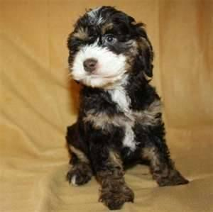 Cockapoo For Sale In Ohio Classifieds Buy And Sell In Ohio Page 2