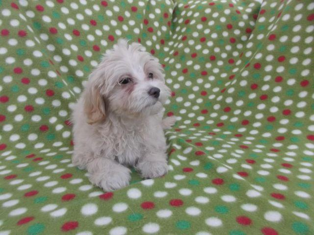 Cockapoo Puppies ready to go for Sale in Howell, New Jersey