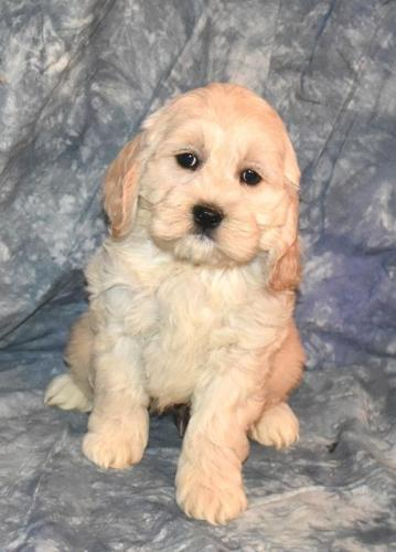 Cockapoo Puppy for Sale - Adoption, Rescue for Sale in Northwood