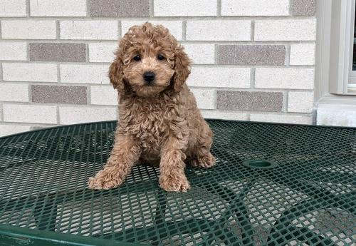 Cockapoo Puppy for Sale - Adoption, Rescue for Sale in